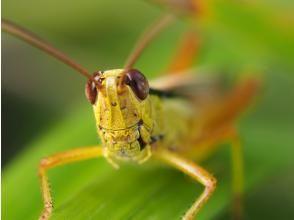 【栃木・奥日光】<面白い虫をさがそう!>バッタパラダイスでバッタ三昧の一日を!奥日光バッタづくしツアー