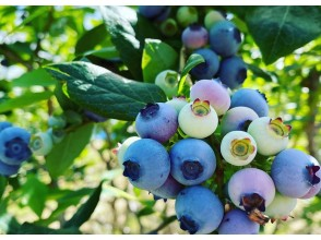 [Fukushima / Iwaki City] Picking blueberries-delicious! pleasant! Would you like to experience picking? Recommended for families and women! Berry-based cafe menu ◎