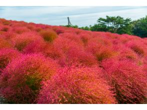 [From Tokyo] Mokomoko Kokia and Power Spot in Hitachi Seaside Park, which is dyed bright red Visit Oarai Isosaki Shrine 2 hours in Nakaminato for lunch ★ Bus Tour DBA1