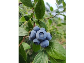 [Inzai x Blueberry Hunting] << Picking Course >> Harvest souvenirs! Take away by weight ♪