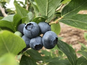 [Inzai x Blueberry Hunting] << All-you-can-eat course >> Plenty of 90 minutes ♪ Recommended for families!