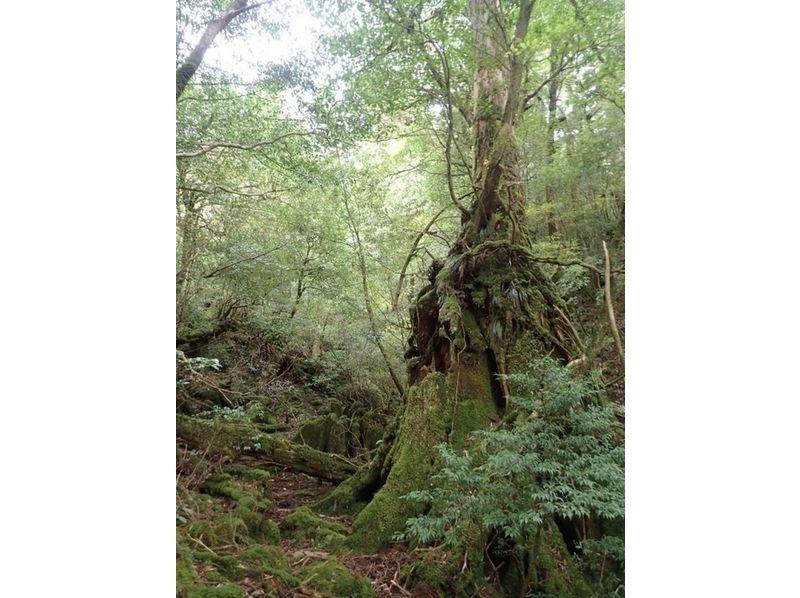 【鹿児島・屋久島】静寂の苔むす森・白谷雲水峡トレッキング(1日コース)の紹介画像