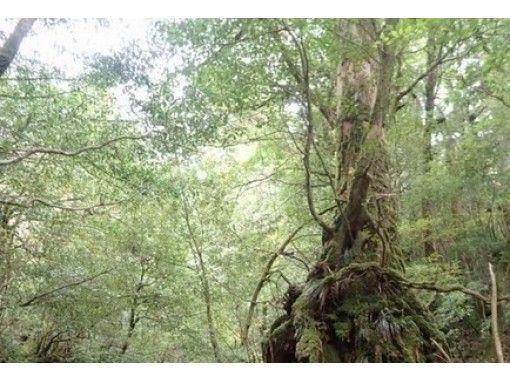 【鹿児島・屋久島】静寂の苔むす森・白谷雲水峡トレッキング(半日コース)お子様からシニアの方も楽しめる