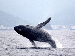 【鹿児島・奄美】遭遇率No.1!クジラを見に行こう!ホエールウォッチングツアーの画像