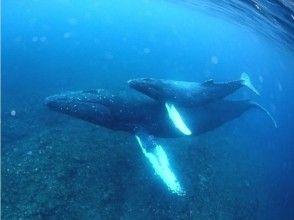 【鹿児島・奄美】クジラと一緒に泳ごう!ホエールスイムツアー (ライセンス必須)の画像