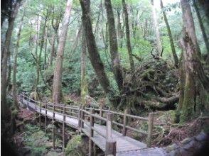 【鹿児島・屋久島】ヤクスギランド原生林トレッキングツアー(1日コース)の画像
