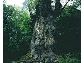 【鹿児島・屋久島】縄文杉一泊二日トレッキングキャンプツアーの画像