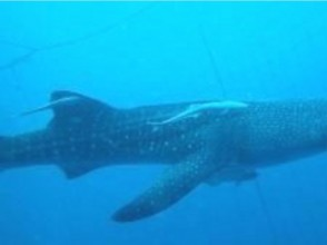 [Okinawa Onna] experience diving or snorkel (whale shark course)