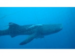 [Okinawa Onna] whale shark and blue of the cave set course of image