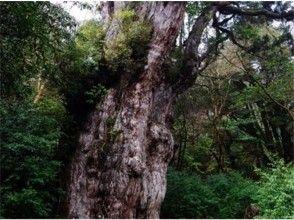 【鹿児島・屋久島】縄文杉コースの画像