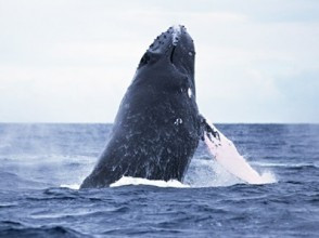 [Okinawa Onna] winter only! Whale watching