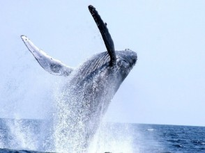 [Okinawa/Headquarters] Winter only! 98% encounter rate! Whale watching(half-day tour) from Motobu Port