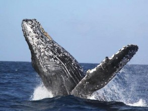 [Okinawa Headquarters] Winter only! Advantageous set plan-Whale watching & snorkeling from Motobu Port