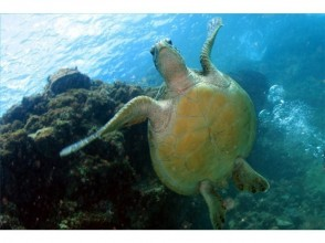 【鹿児島・奄美大島】憧れのウミガメに会いに行こう!シュノーケル体験(ウミガメ探索コース)の画像