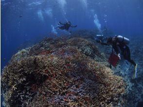 【沖縄・西表島】貴重なサンゴの産卵に出会える!?ナイト・早朝ダイビング