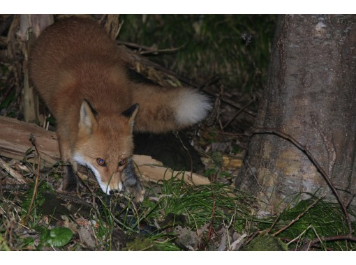 [Hokkaido, Shiretoko] Let's go to see deer and red fox! Night animal watching! Enjoy with your family! 6 years old ~ OKの紹介画像