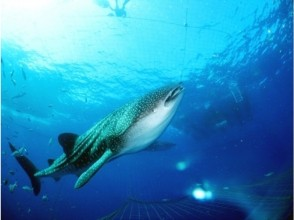[Okinawa Yomitan] will swim with the whale shark! Snorkel plan