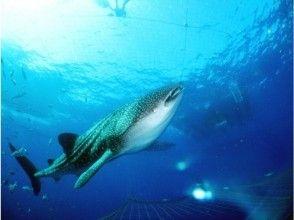 【沖縄・読谷村】ジンベエザメと泳ごう!シュノーケルプラン