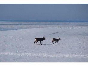 [北海道知床]梅花鹿,觀察鳥!雪徒步形象