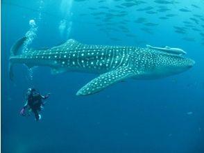 [오키나와·나하] 고래 상어 체험다이빙(반나절 코스)