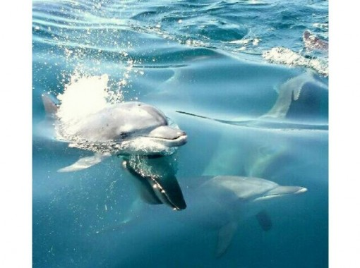 [Kumamoto / Amakusa] Let's go see wild dolphins! You can meet dolphins with high probability!の紹介画像