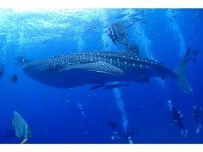 【沖縄・恩納村発】一度は見てみたい、泳いでみたい!読谷村ジンベエザメ ボートファンダイビング