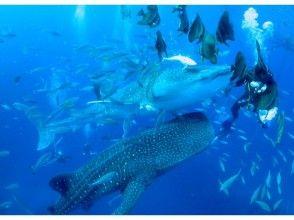 【沖縄・恩納村発】一度は見てみたい、泳いでみたい!読谷村ジンベエザメ ボート体験ダイビング