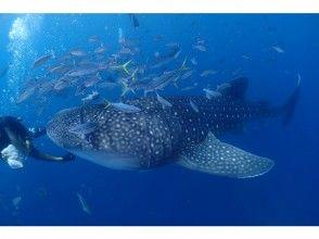 【沖縄・恩納村発】一度は見てみたい、泳いでみたい!読谷村ジンベエザメとシュノーケリング♪