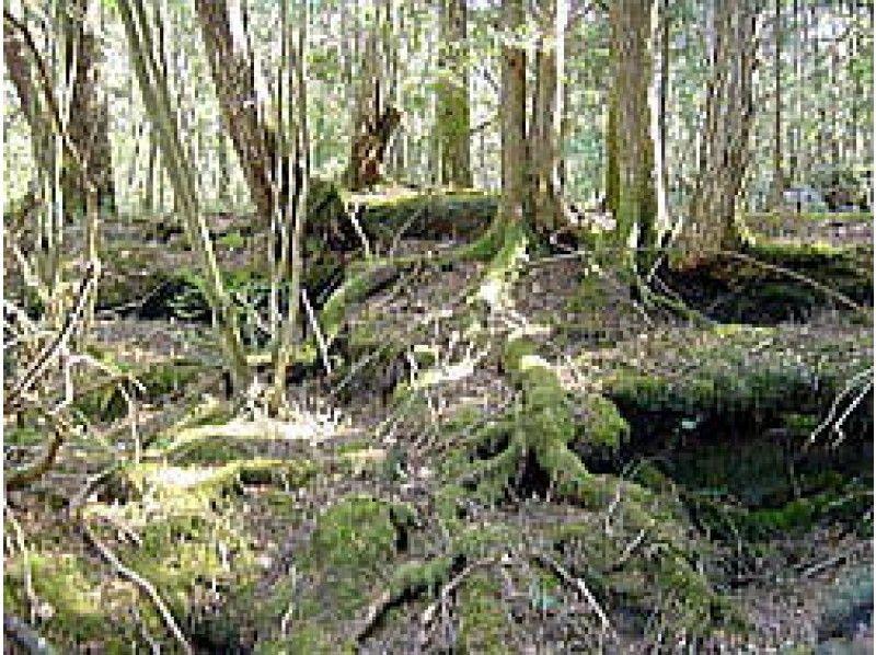 [Yamanashi Fujiyoshida] Aokigahara Jukai - three lakes stand Nature trekking introduction image