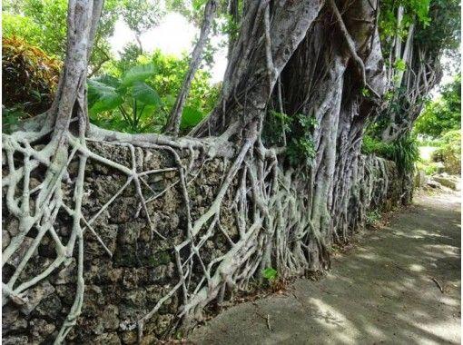【鹿児島・沖永良部島】I.ガジュマル巡り・巨木巡り 自然のパワーみなぎる木々を巡るツアー【車移動♪】