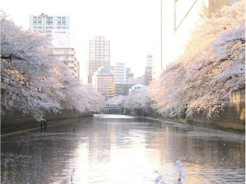 [Tokyo Meguro River] introduction image of cherry-blossom viewing CHANDON Cruise (Meguro River course riding together plan)