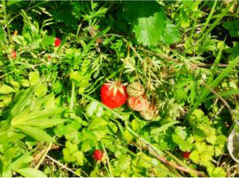 [Kyoto Kameoka organic cultivation strawberry hunting plan of introduction image