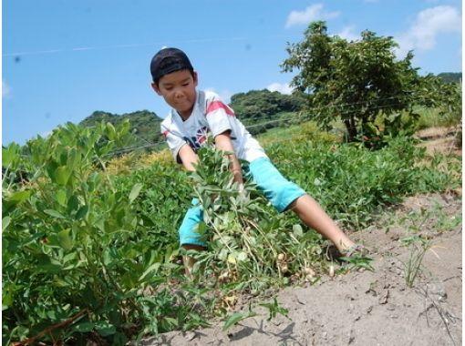 【佐賀・佐賀市】自分で収穫して、茹でたてを食べられる!ピーナッツ収穫体験