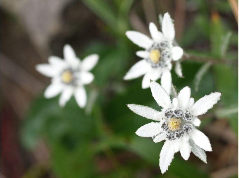 【北海道・礼文島】歌にも歌われた可憐な花! ウスユキソウ群生地コースガイドの紹介画像