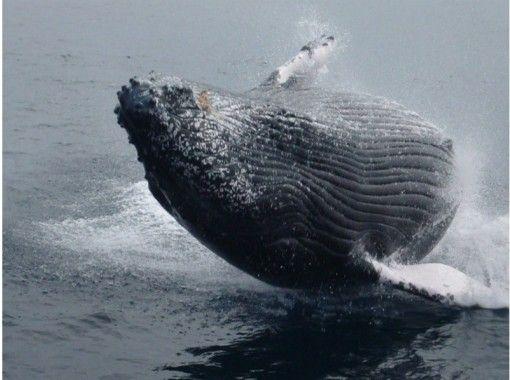 【那覇発】ホエールウォッチング!全額返金保証(全日程)!鯨を見つける技術がピカイチ海人船長! (半日プラン)