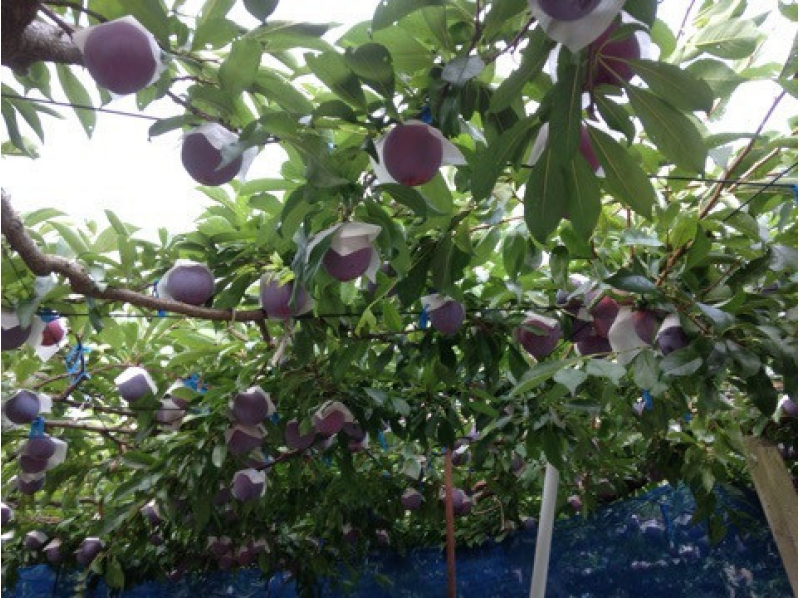 【Yamanashi / Koshu】 Takayo et al., Plum 40 mins all-you-can-eat! + Introduction image with souvenirs