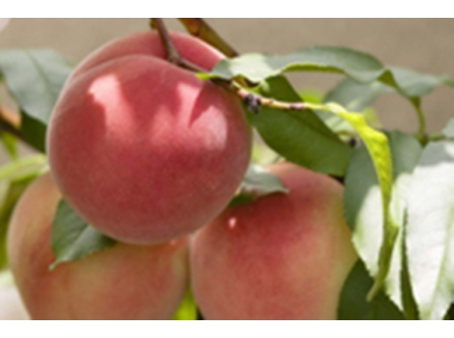[Gunma / Numata] The finest peach hunting brought up by the volcanic ash and the sunlight pouring in!の紹介画像