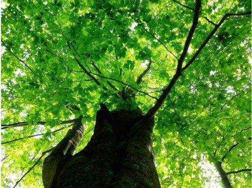 【北海道・黒松内町】ブナ林ガイドウォーク(90分コース)癒しの時間を楽しんでみませんか?