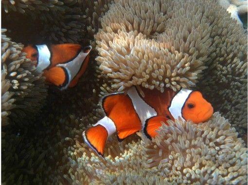 [沖縄-石垣島]石垣島從北半球最大的藍珊瑚礁,享受浮潛!の紹介画像
