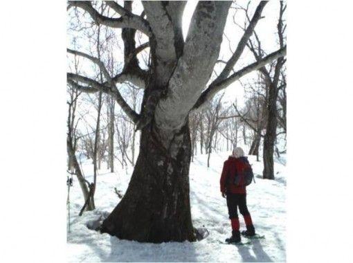 【Hokkaido · Kuromatsunai-machi】 Songwriter Beech forest Snowshoe experienceの紹介画像