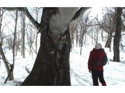 """[Hokkaido Kuromatsunai-machi] Giant tree watching experience """"Selectable 2 course"""" Guided by a village residence in the northern limit of beech!の紹介画像"""