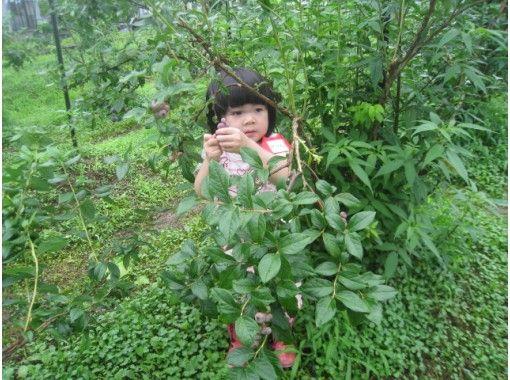 【秋田・大仙】ブルーベリー狩り&食べ放題★お子さまと一緒にどうぞ♪