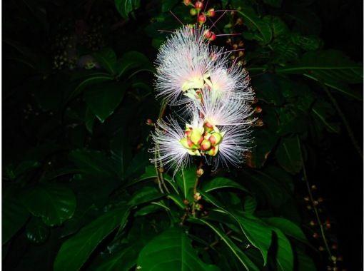 """[石垣岛/夜]一夜之间散落的幻影""""一夜花""""Sagaribana观赏之旅[仅限6月至8月]の紹介画像"""