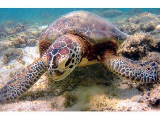 【鹿児島・奄美大島】ウミガメと泳ごう!ウミガメシュノーケリングツアー・遭遇率95%!