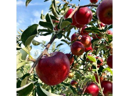 【長野・飯山】信州いいやま 英語ガイドが教えるりんご狩り体験