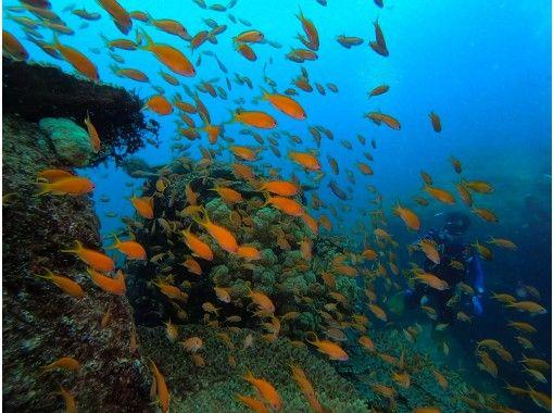 """[柏岛GO! ]在爱媛县松山市的鱼类天堂""""柏岛""""体验深潜之旅の紹介画像"""
