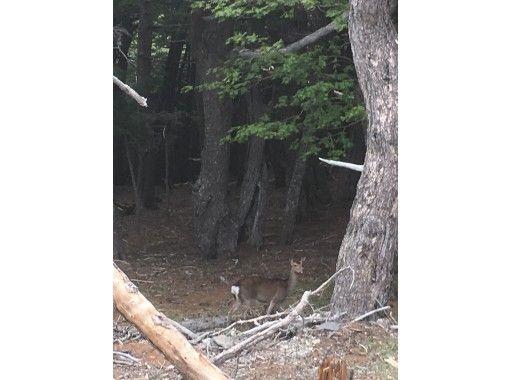 ★見れなかったら返金CP 野生の鹿観察会in西湖の紹介画像