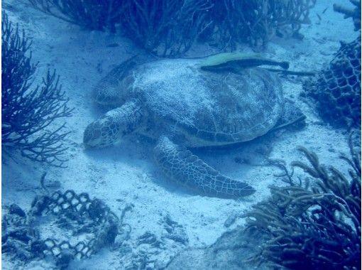 サンゴのお花畑でウミガメシュノーケルor体験ダイビングツアー