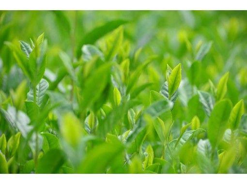 【京都・和束】五感でお茶を堪能!宇治茶の郷でガイド付き茶畑ウォーキング&和束茶でほっこり!茶団子付き