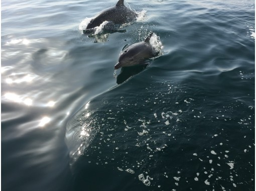[Kumamoto / Amakusa City] Let's meet wild dolphins! Meet a herd of about 200 Southern Dolphins regardless of the season!の紹介画像